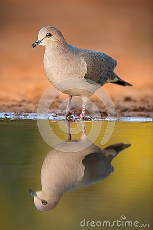 Free White-tipped Dove Stock Photos - 37613943