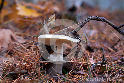 White toadstool in the forest