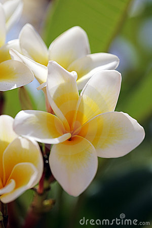 Free White Tropical Flowers (plumeria) Royalty Free Stock Images - 8260399