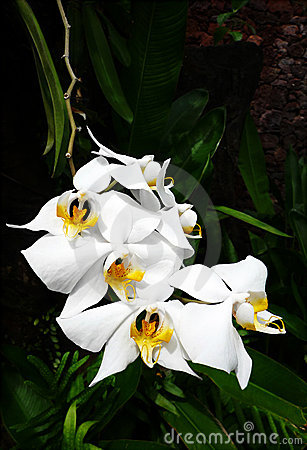 Free White Tropical Orchids Royalty Free Stock Images - 7960899