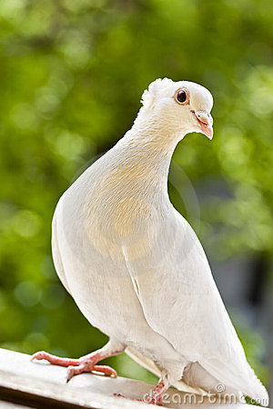 White tufted pigeon
