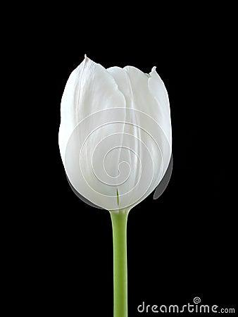 A White Tuilip On Black