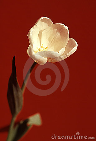 Free White Tulip Royalty Free Stock Photography - 411997