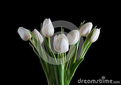 White tulip on black background