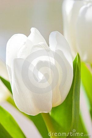 White tulip flower