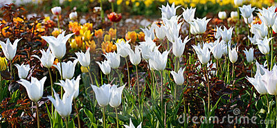 White  tulip flowers.