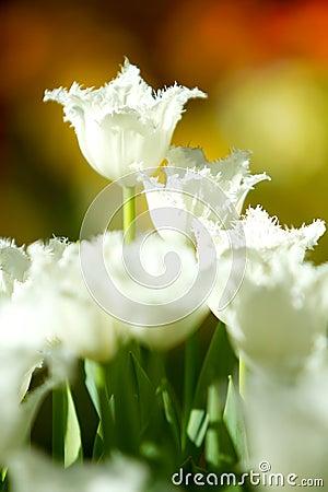 White tulip flowers in the garden