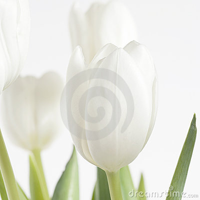 Free White Tulip Just Opening Sq Royalty Free Stock Photography - 5166607