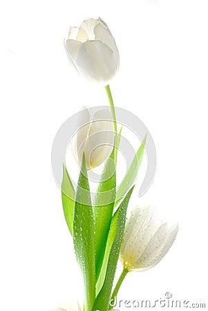 Free White Tulips Royalty Free Stock Image - 8780496