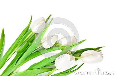 White Tulips Border