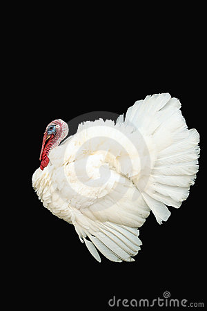 White turkey