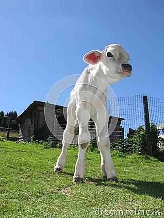 White veal