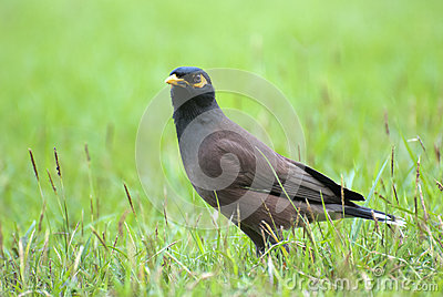 White vented myna