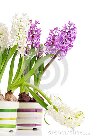 White and violet hyacinths