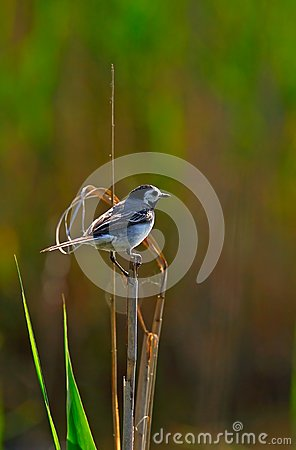 White wagtail  in backlight