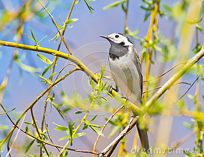 White wagtail closeup