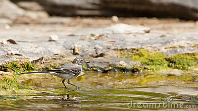 A White Wagtail fishing