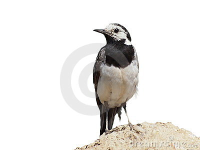 White Wagtail isolated on white background