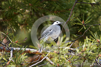 White wagtail (motacilla alba) on a pine.