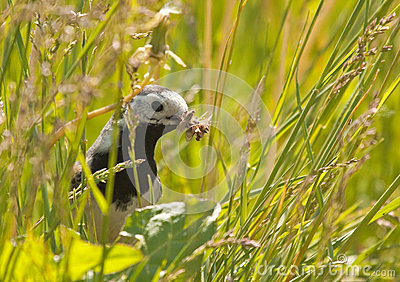 White Wagtail with prey