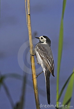 White wagtail on rush