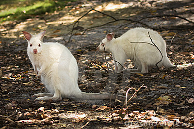 White wallabies