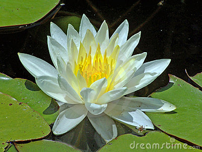 White water-lilly