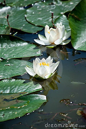 Free White Water Lily Royalty Free Stock Photo - 14489485