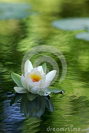 Free White Water Lily Stock Photos - 26075543
