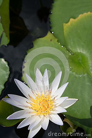 Free White Water Lily Royalty Free Stock Photography - 80738097