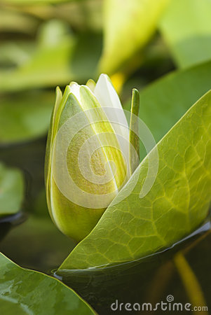 Free White Water Lily Blossom Among Green Algae In The Lake Stock Photos - 51411593