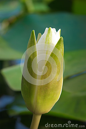 Free White Water Lily Blossom Among Green Algae In The Lake Stock Image - 51412561