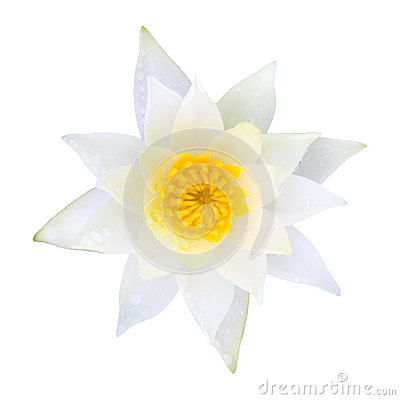 White water lily lotus