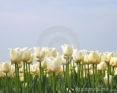 White tulips in a blue sky, agriculture in the Dutch Noordoostpolder, Netherlands