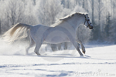 White Welsh horse running in winter