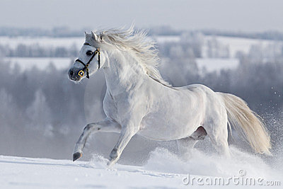White Welsh horse runns on the hill