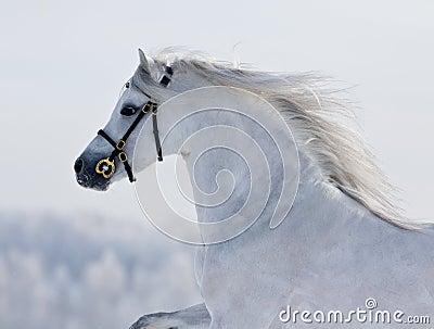 White Welsh horse runns on the hill