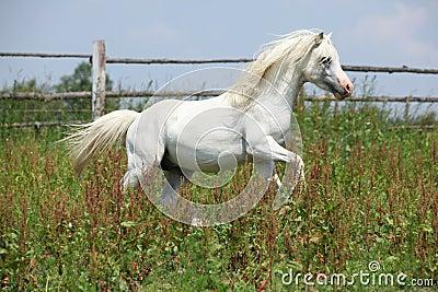White welsh mountain pony stallion galloping