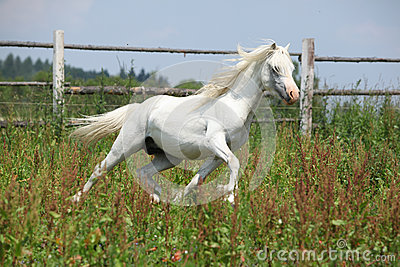 White welsh mountain pony stallion running