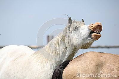 White welsh mountain pony stallion showing its teeth