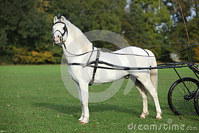 White welsh mountain pony standing