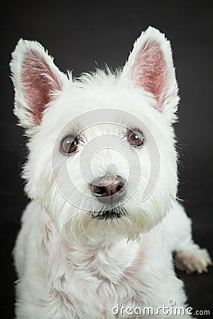 White Westhighland westie terrier