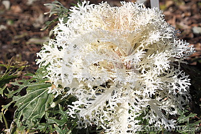 White Ornamental Cabbage