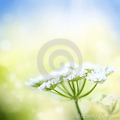Free White Wild Carrot Flower On Spring Background Stock Photo - 29411370
