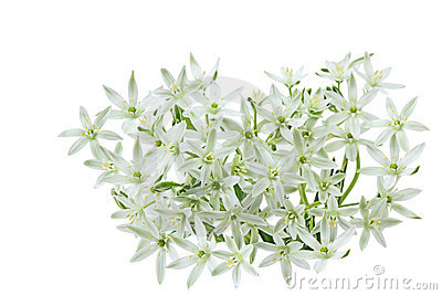 White wild lily