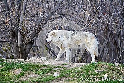 White Wild wolf in a forrest
