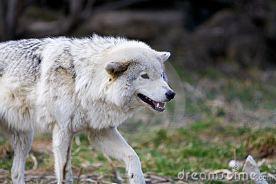 White Wild wolf preparing to attack