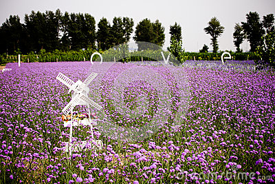 White Windmill and Lavender field