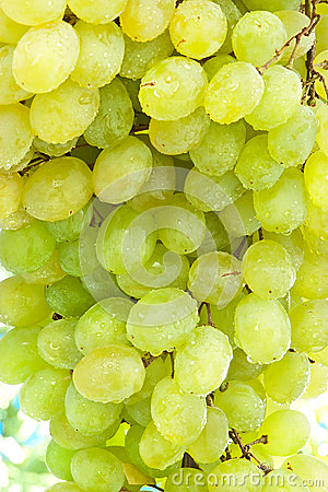 White Wine Grapes on the Branch