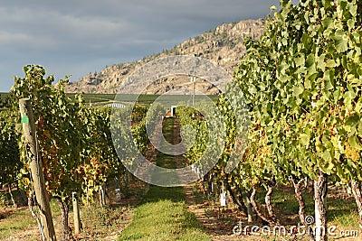 White Wine Grapes, Okanagan Vineyard